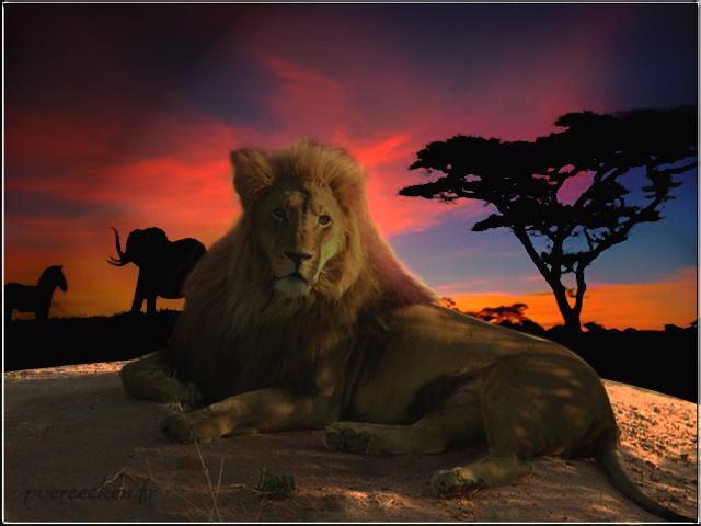 montage lion savane